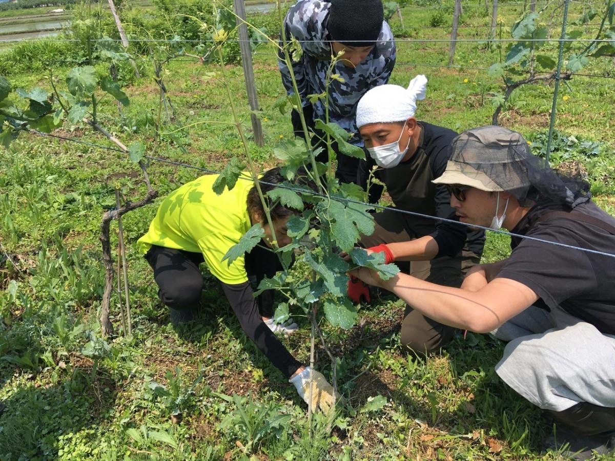ワインづくり 農作業